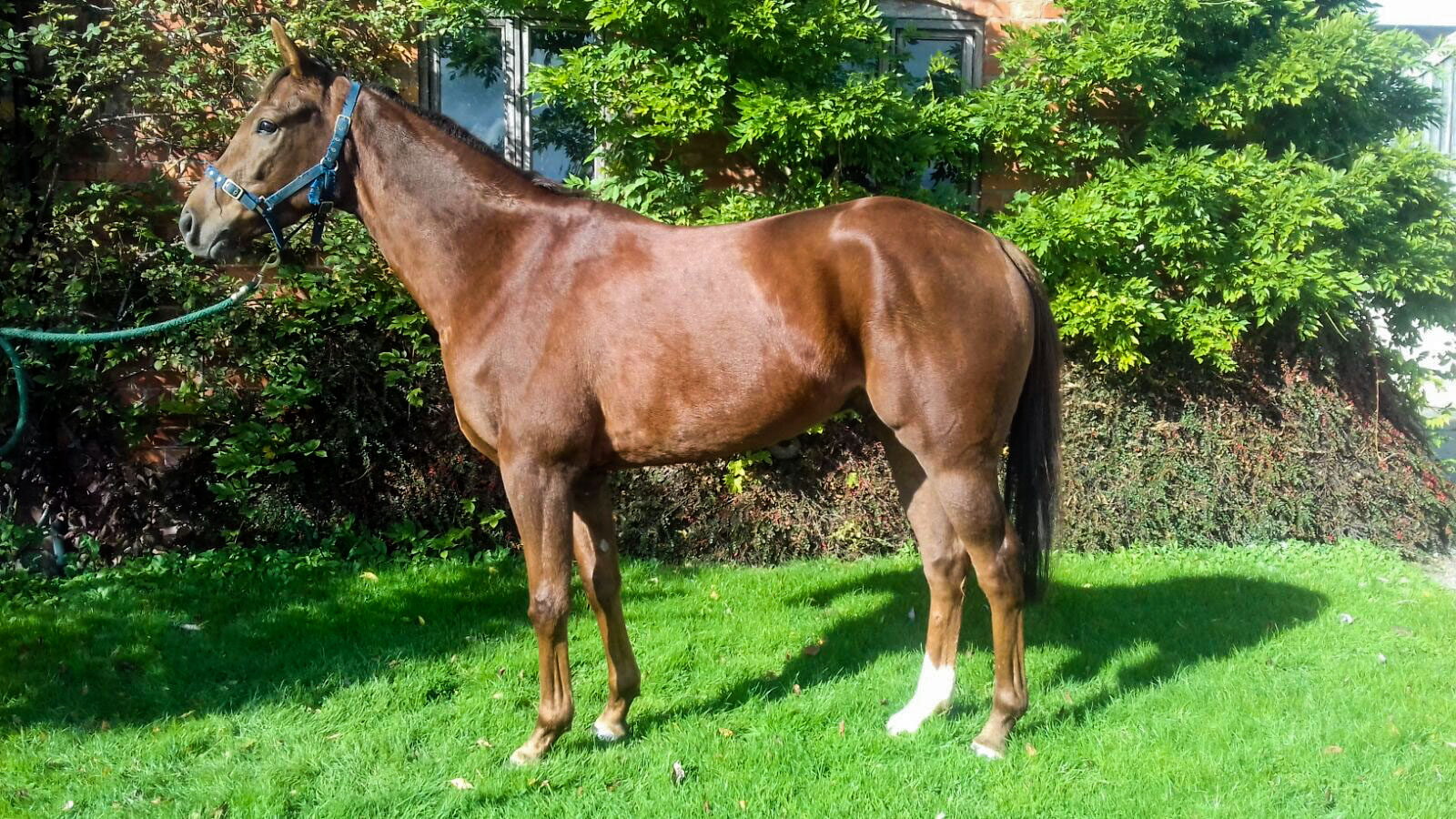 3 year old gelding by Shantou, out of Panorama Lady by Cloudings.