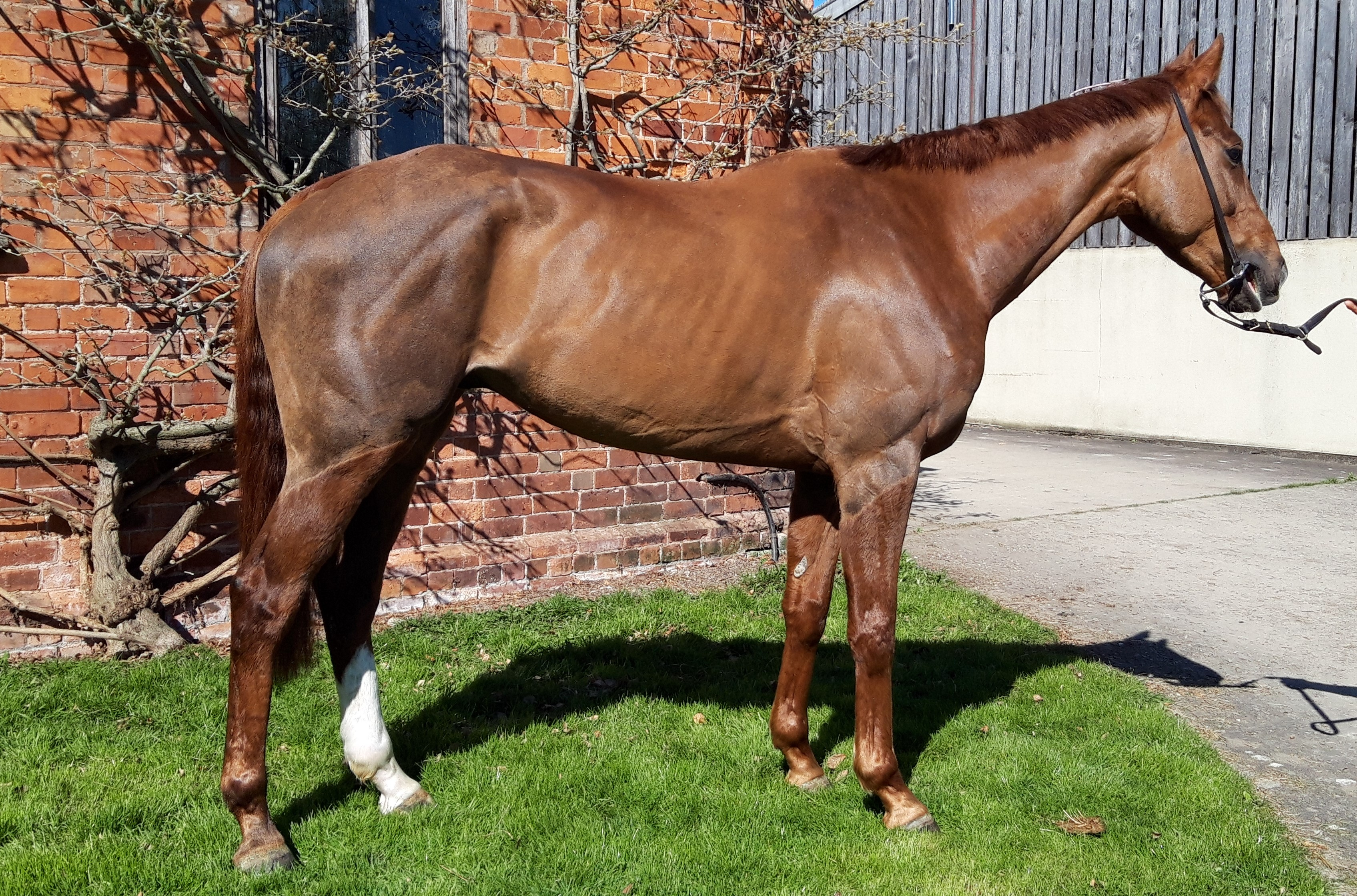 EQUUS DREAMER 4YR OLD BY GETAWAY OUT OF A PRESENTING MARE.