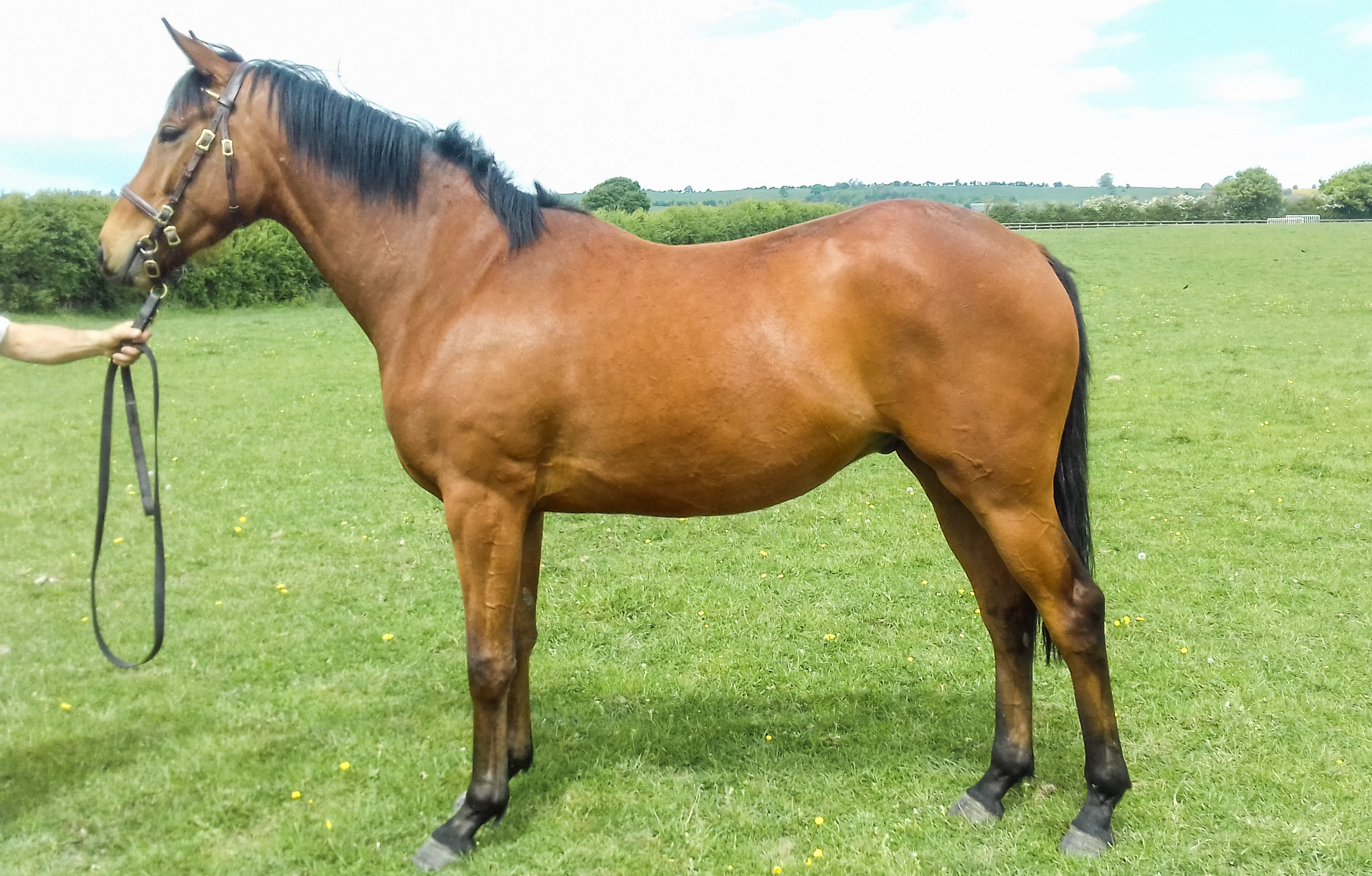 3YR OLD GELDING BY SHOLOKHOV OUT OF PUTLANDS BRIDGE